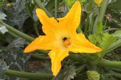 fiori-di-zucchina