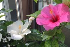 ibiscus-fiorito